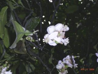 Zabon-hana-1.jpg