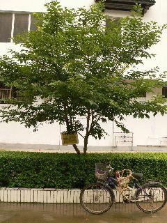 0606sakura-4.jpg