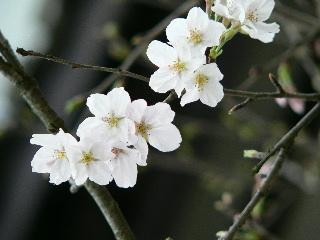 0322-kakudai-sakura-57.jpg