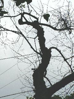 0428-kareta-kakinoki-6.jpg