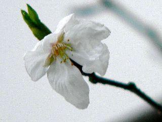 070310-Sakura-1.jpg