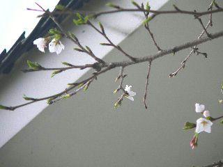 070310-Sakura-2.jpg