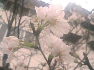 080321-KakudaiSakura-.jpg
