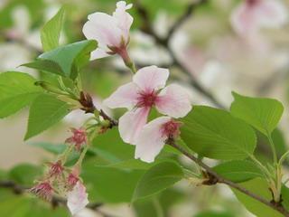 090324-Sakura-.jpg