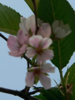 090928-Sakura-.jpg