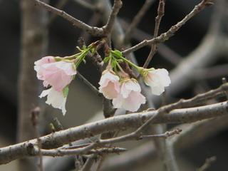090928-Sakura2-.jpg