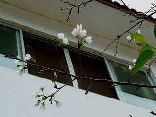 100930-Sakura-2-.jpg