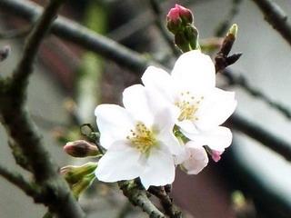 110314-Sakura-1-.jpg