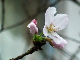 110314-Sakura-3-.jpg