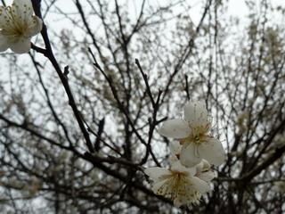 120219-SuanMei-.jpg