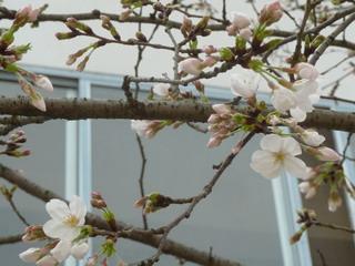 120326-Sakura-2-.jpg