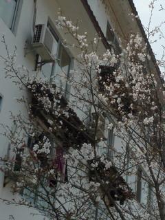 120326-Sakura-mankai-1-.jpg