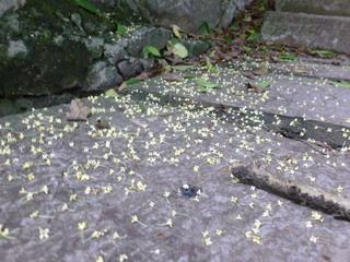 120926-Kinmokusei-otiHana-.jpg