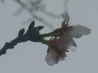 121108-Sakura-.jpg