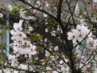 130314-sakura-mankai-.jpg