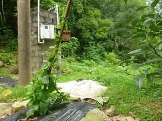 130604-moroheiya-.jpg