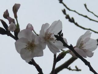 140323-Sakura-2-kaika-.jpg