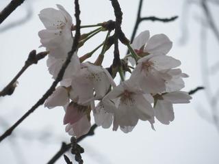 140323-Sakura-kaika-.jpg