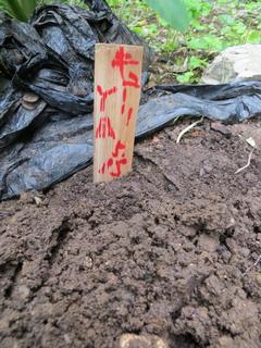 140515-kyuri-hatake-tane-.jpg