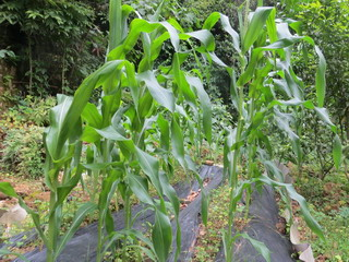 140525-nisiHatake-corn-.jpg