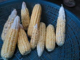 140622-corn-9-.jpg