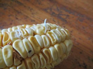 140708-corn-ne-.jpg