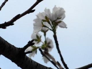 150831-schoo-3-Sakura-.jpg