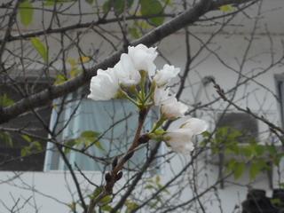 150924-Sakura-hana-.jpg